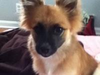I have a red 3yr old male Pomeranian and a 5 month old