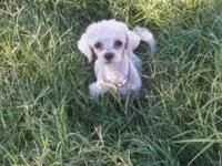 7 week old Male / Female toy poodle and toy shih tzu