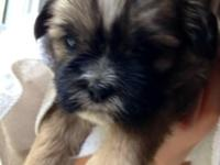 Cute & & cuddly Shih Tzu puppies born 6/24/14;