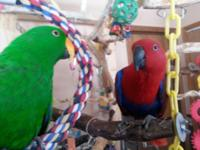 A remarkable pair of SI Eclectus both are friendly.