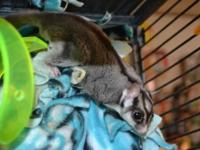 I have a male and female sugar glider for sale. They