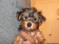 Yorkie puppies  very gorgeous male and female