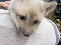 Male Fire and Ice fox kit for sale. $500. Kit is 5