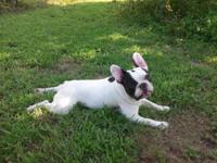 I have a young male French Bulldog for sale. His DOB is