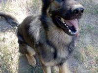 Beautiful 6 year old male German Shepherd, imported