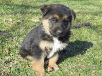 We currently have two German Shepherd pups for sale,