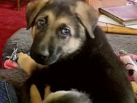 8 week AKC male German Shepherd puppy.. Cute and will