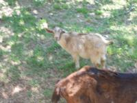 4 month old male goat. $65.00 Call  // //]]> Location: