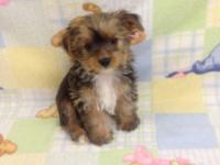 Very sweet and cute Male Gold Yorkie puppy He was born