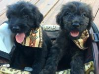 Goldendoodle male puppies are now available for their