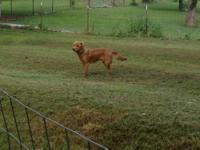 Young Golden Retriever, red, male up for adoption to a