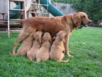 Duke is a happy, full of love, golden retriever puppy