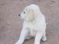 beautiful and fun loving light colored male golden