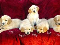 We have ONE PUREBRED MALE GOLDEN left, he will be ready