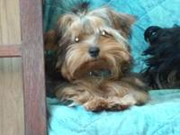 I have a male golden yorkie offered for adoption can be