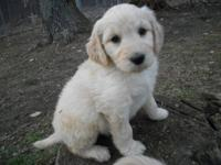 Beautiful F1B Goldendoodles! Mom is a poodle, dad is a