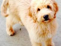 Male Goldendoodle puppy. 14 weeks old. His father was a