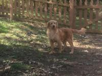 Wonderful male goldendoodles available! They have all