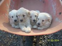 Gorgeous male Goldendoodle young puppies available on
