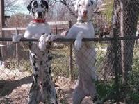 I have a male Great Dane that needs a good home.His