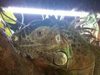 Adult Male Iguana in good health looking for a good