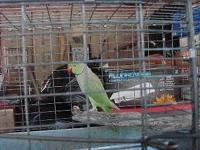 I have a male 2 year old Green Ringneck.The price is