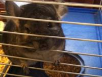 I have a grey male chinchilla he is so sweet and loves