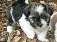 This beautiful Havanese Shih Tzu mix boy will steal