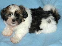 We have two male Havatzu puppies for sale just in time