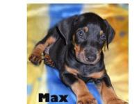 Red/Rust and Black/Rust Male Dobermans available. Tails
