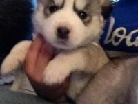 Hi I have 5 adorable male husky puppies for sale. I