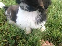 I have one male imperial shihtzu left. He is 11 weeks