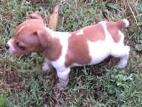 Male Jack Russell Terrier puppy available now for his