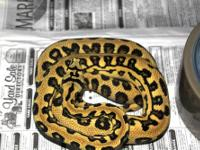 Hatched Aug 2012 Sire: Will Leary x Urban Python Dam: