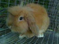 we have a male lion lop rabbit light brown really cute