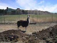 male llama about 2 yrs used a a gaurd animal..