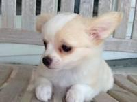 Darling chihuahua boy ready for new home. Up on shots