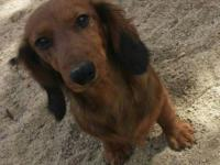 Papered male long hair dachshund needing a brand-new
