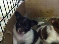 Here is a very cute male longhaired Chihuahua he has