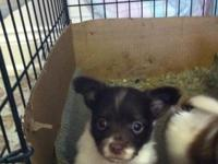 Here is a very cute male longhaired Chihuahua 8 weeks