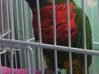 Male lory about 3 yrs old , he could whistle and do all