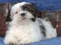 Meet Colton. He is a Mal Shih puppy. (Shih Tzu and