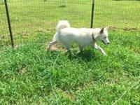 Unalter purebred malamute male. Just over a year old.