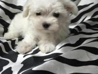 Maltese male Akc dob September 9 2015 will be utd on