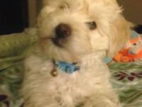 I have a lovely white and light brown Maltese for