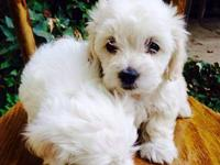 We have two Maltese Poodle Mix puppies available for