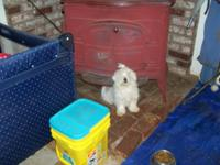 Male maltese pups DOB 4/17/15.  Current on shots