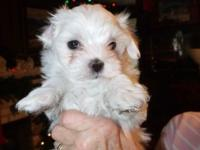 Two male Maltese puppies for sale. AKC registered.