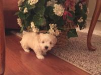 I have for sale 1 male Maltese puppy, He is ACA