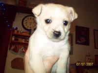 Cute faced, beige young male puppy looking for family